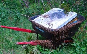wheelbarrow+bees.jpg
