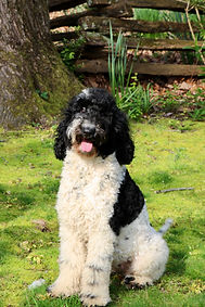 Black and white parti poodle