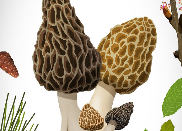 Morilles > Ile-De-France (Départements 75, 77, 78, 91, 92, 93, 94, 95)