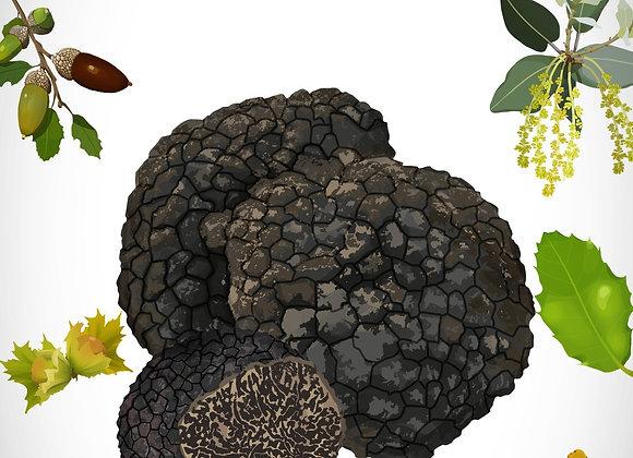 Truffe Noire&Bourgogne > Languedoc-Roussillon