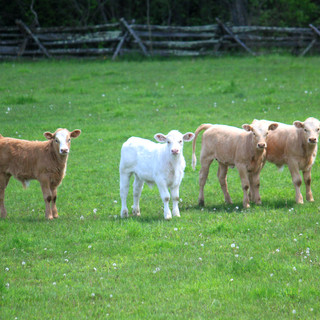 Calves Posing