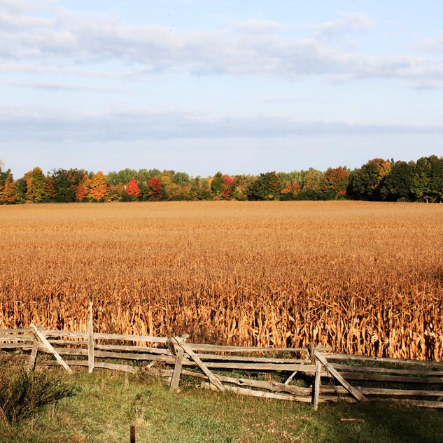 Corn Field in Autumn