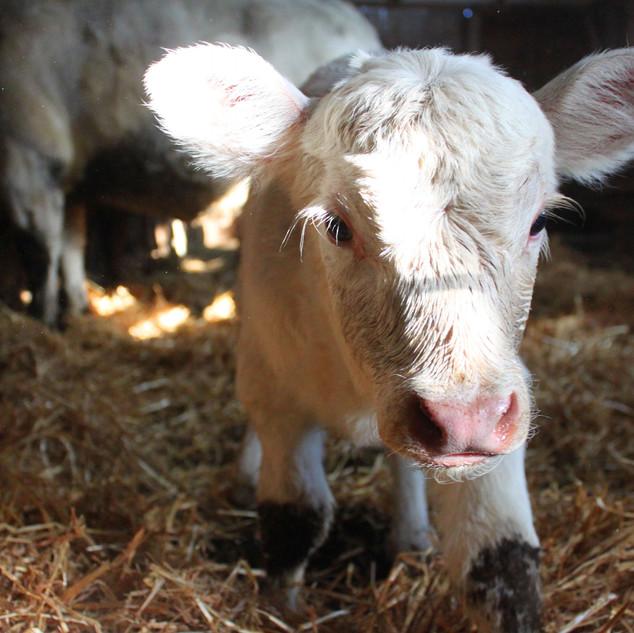 Charolais Calf