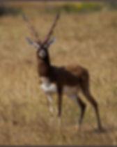 black-buck-male..jpg