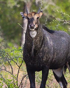 nilgai_antelope.jpg