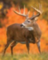 white tail buck.jpg