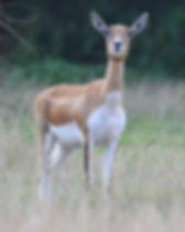 black-buck-female..jpg