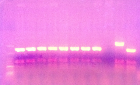 genotyping PCR.png