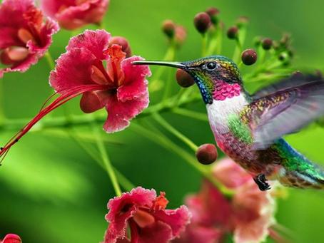 El colibrí su significado y la leyenda Guaraní