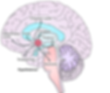 Network-connections-of-the-hypothalamus-