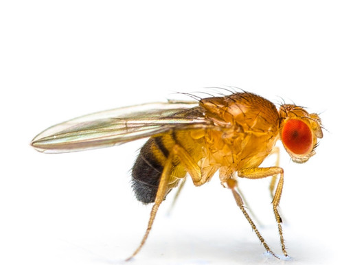Spring and the Swarming Fruit Flies