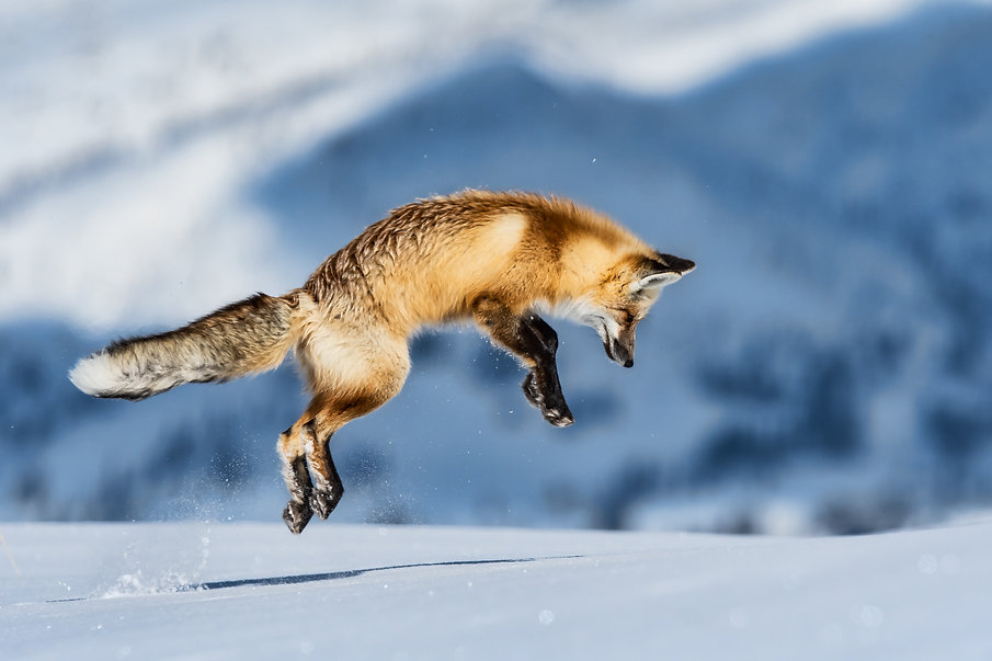 fox jumping to hunt for mouse in yellowstone hayden valley on snowy winter day.jpg