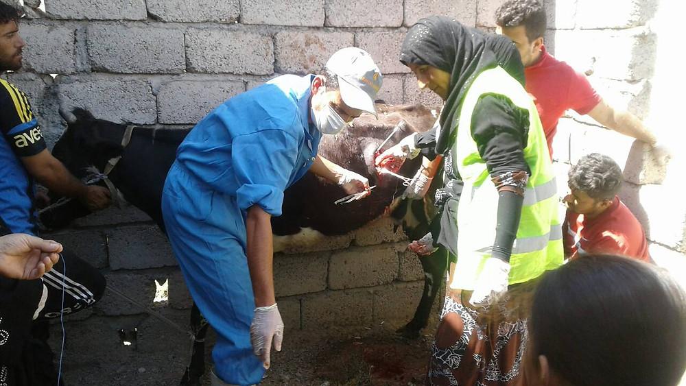 Livestock husbandry and basic veterinary care