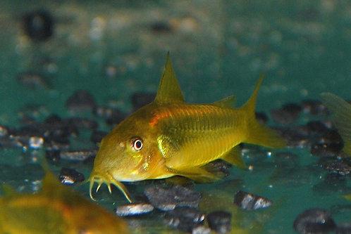 Gold Cory Catfish