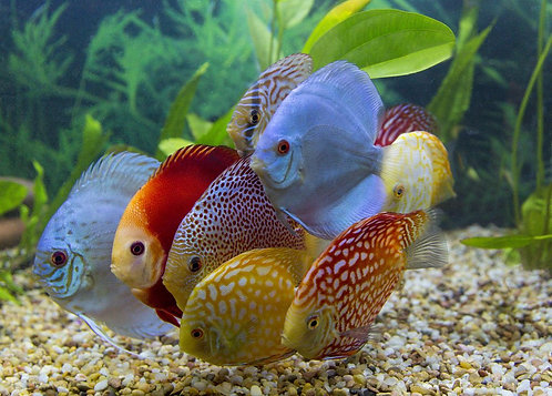 Assorted Premium Group of 10 Starter Discus Fish