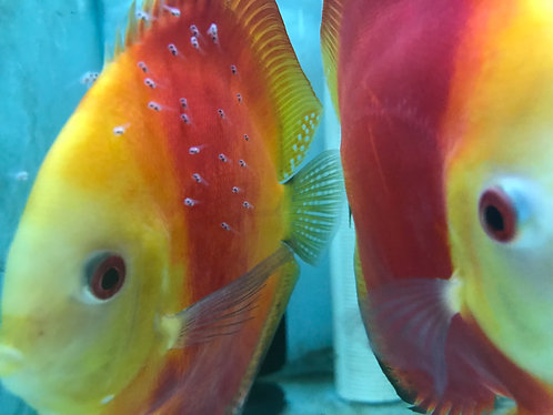 Super Red Melon Discus Proven Breeding Pair