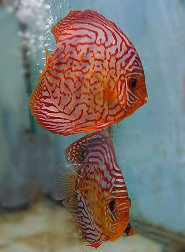 Striated Red Discus Proven Breeding Pair