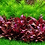 Thumbnail: Alternanthera Reineckii Mini