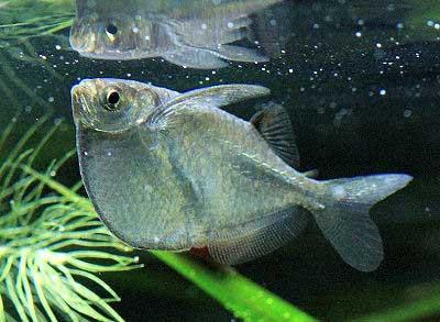 Silver Hatchet-fish