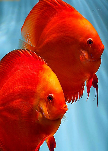 Super Red Solid Melon Discus Proven Breeding Pair