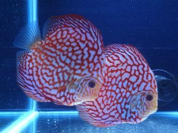 Rafflesia Discus Proven Breeding Pair