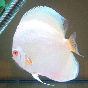 Albino Blue Diamond
