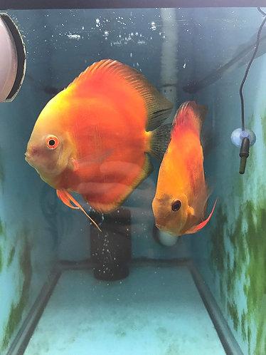 Tangerine Red Melon Discus Proven Breeding Pair