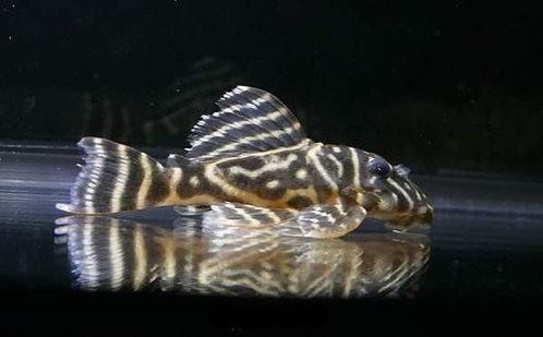 Colombian Zebra Pleco