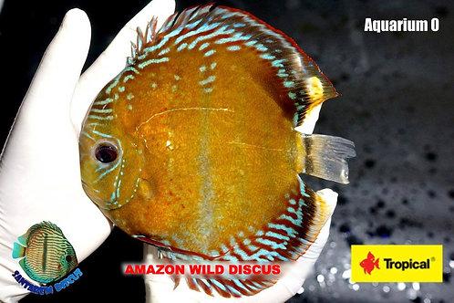 Wild Discus Iripixi From The Amazon