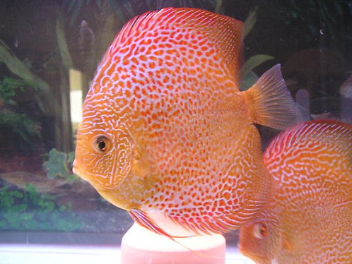 Red Ring Leopard Discus Proven Breeding Pair