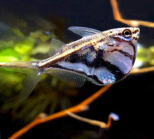 Marbled Hatchet-fish