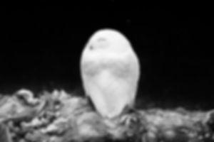 birds-snowy_owl-jockmans-20151111-01-web