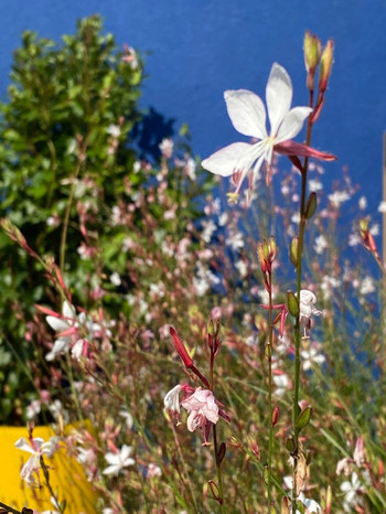 Gaura with Blue wall and yellow planter.