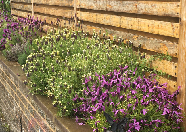 lavender planting.jpg
