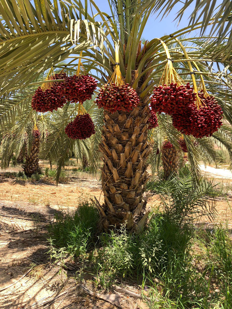 עץ דקל מצוי בוגר נושא פרי