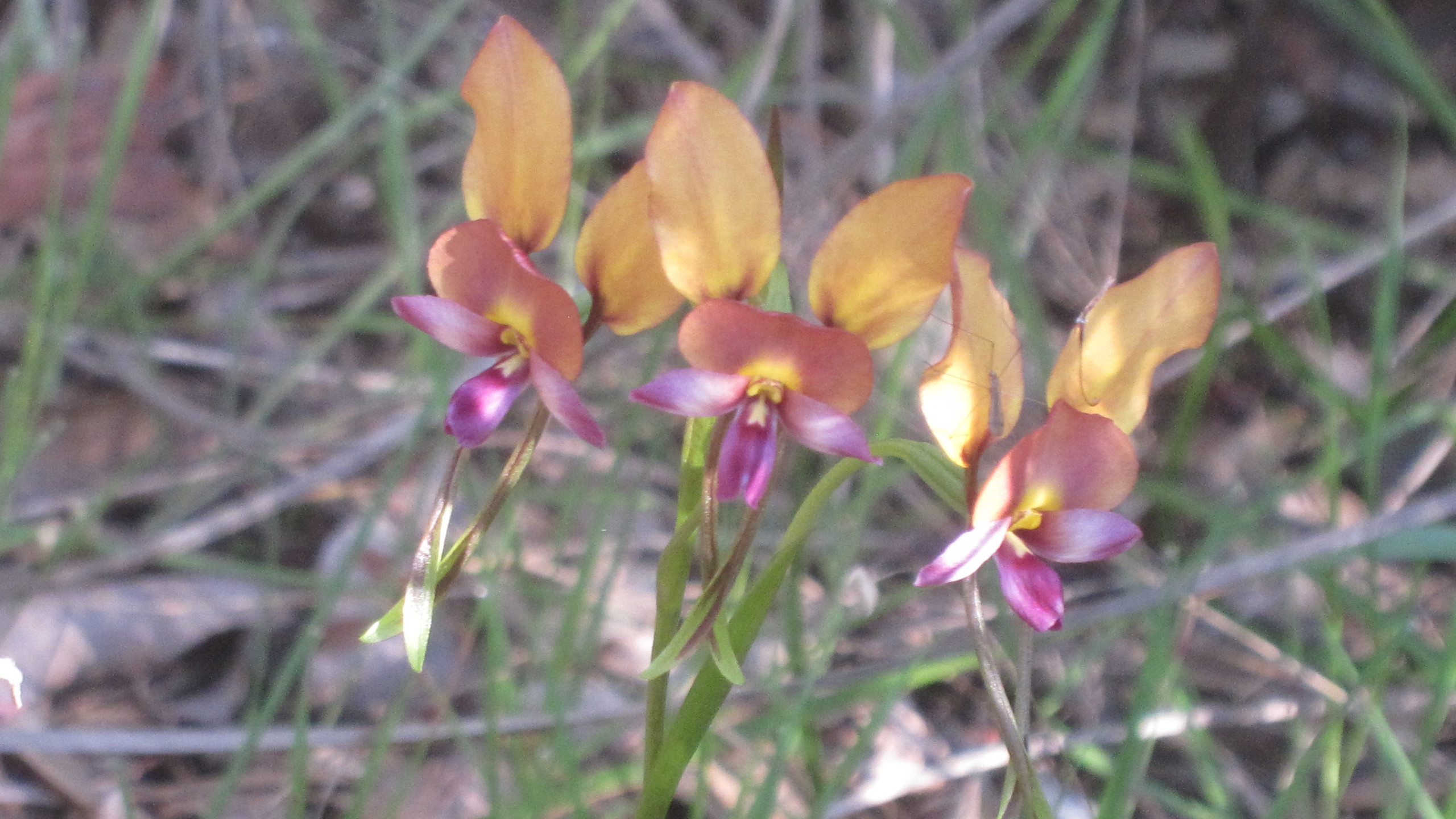 Donkey Orchid  - Flowers in Perth Hills