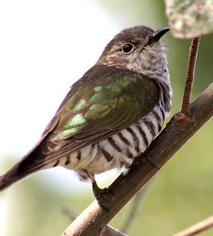 Shining Bronze-Cuckoo 2.jpg