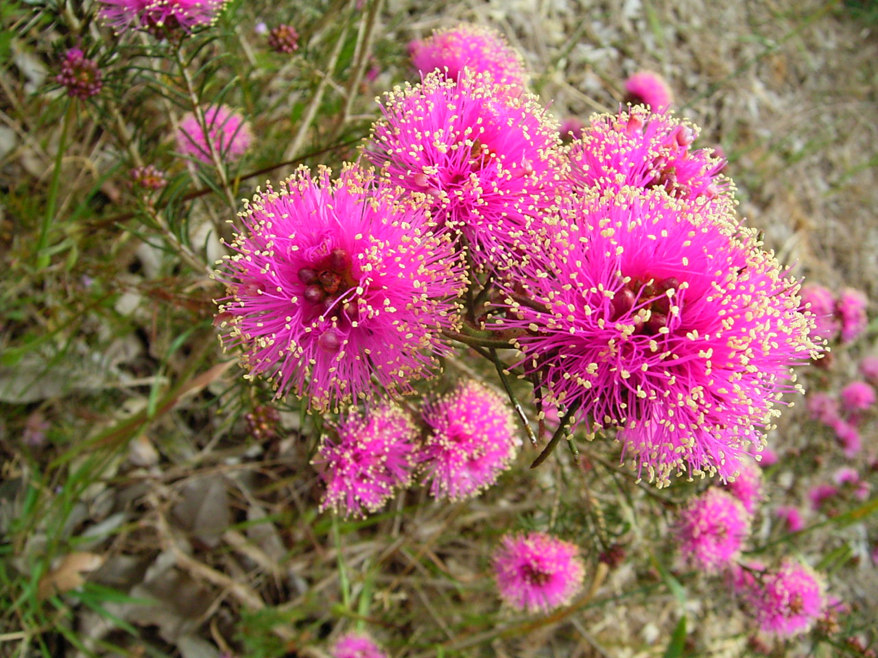 Flowers in Perth Hills (31)