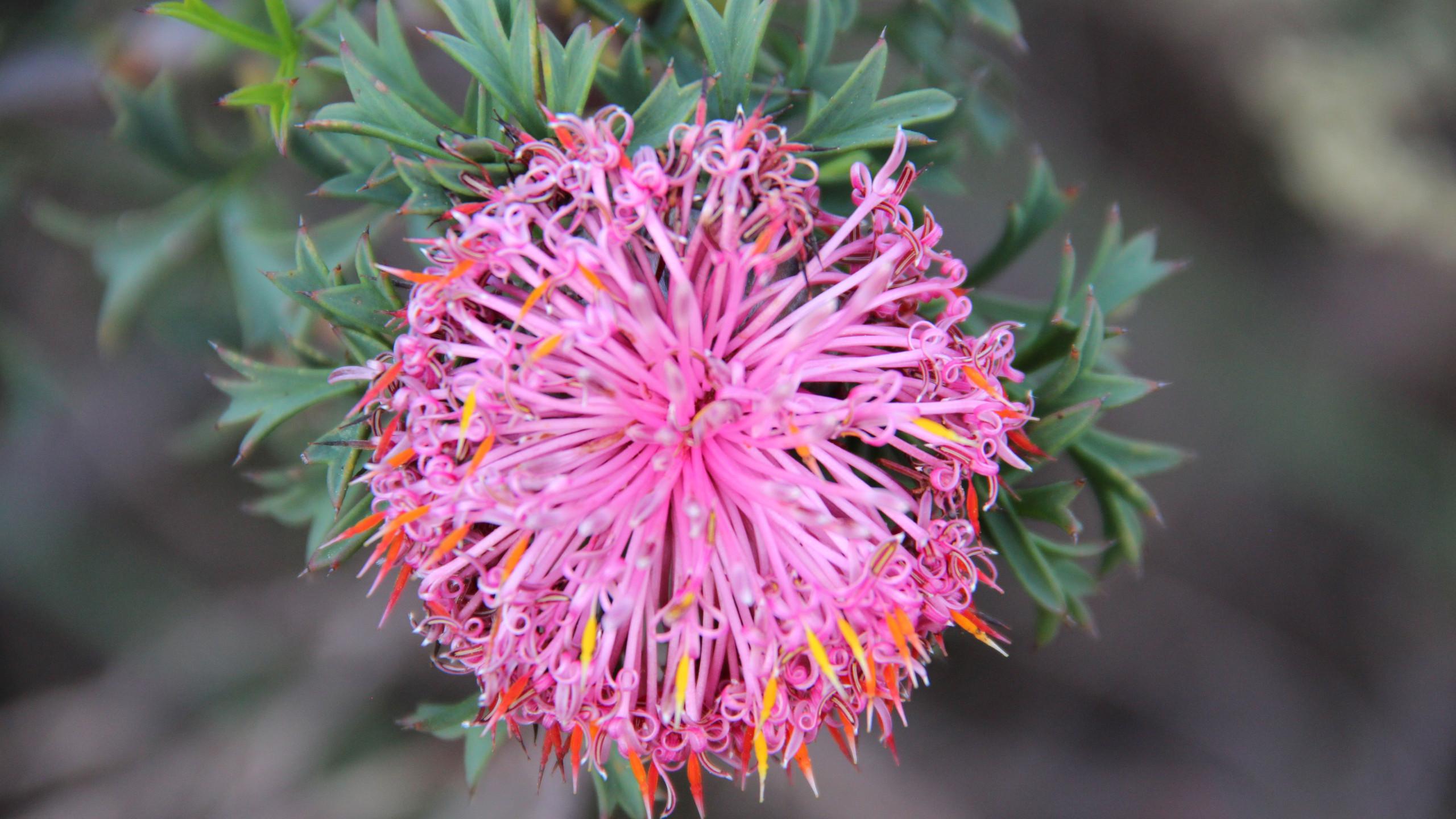 Pincushion Coneflower - Flowers in Perth Hills (18)