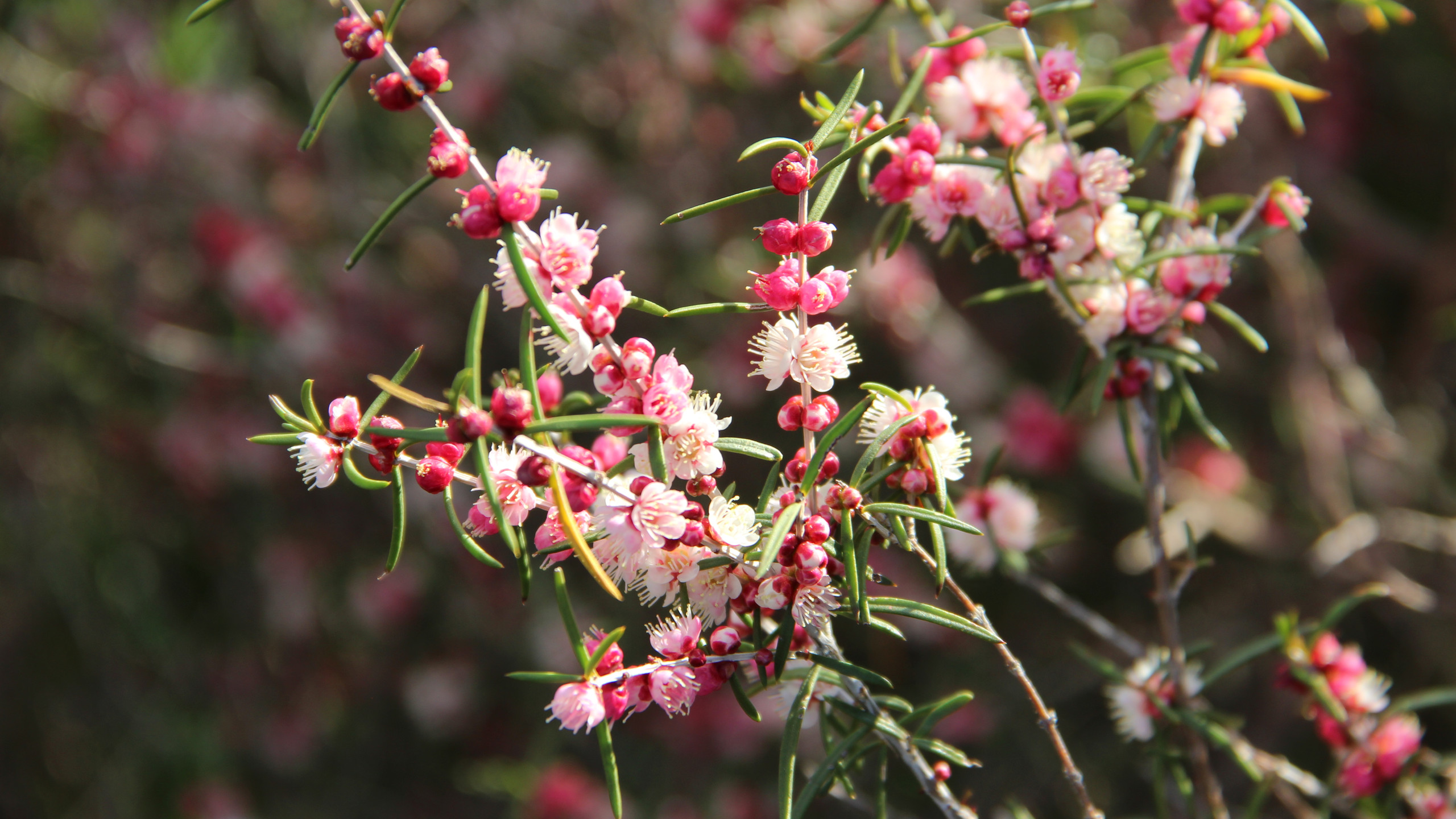 Swan River Myrtle - Flowers in Perth Hills (14)