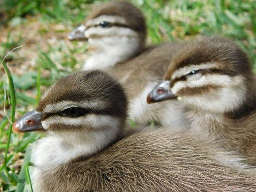 Ducklings - Kanyana Wildlife