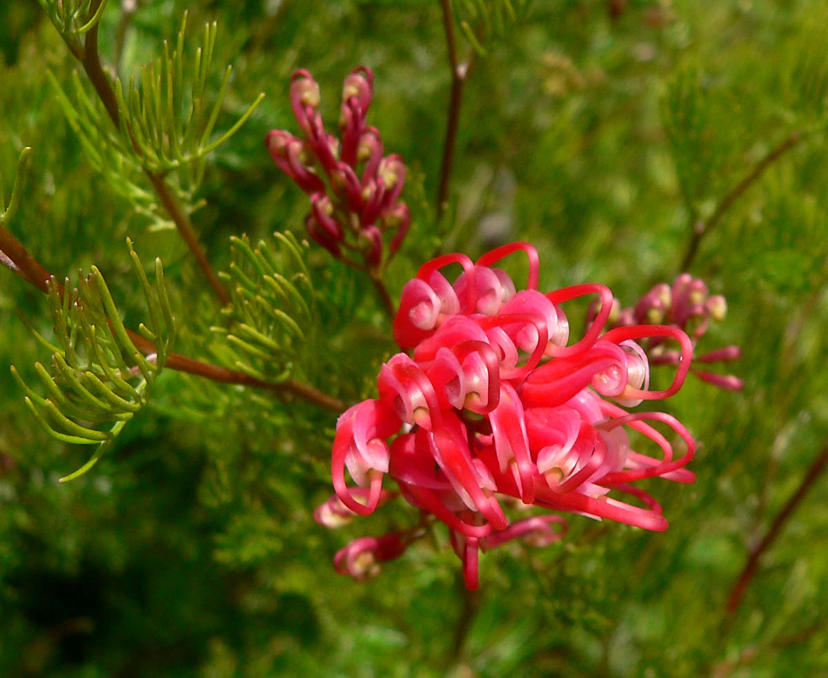 Grevilla - Flowers in Perth Hills (3)