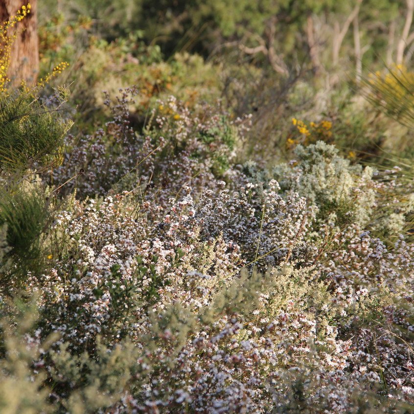Flowers in Perth Hills (21)