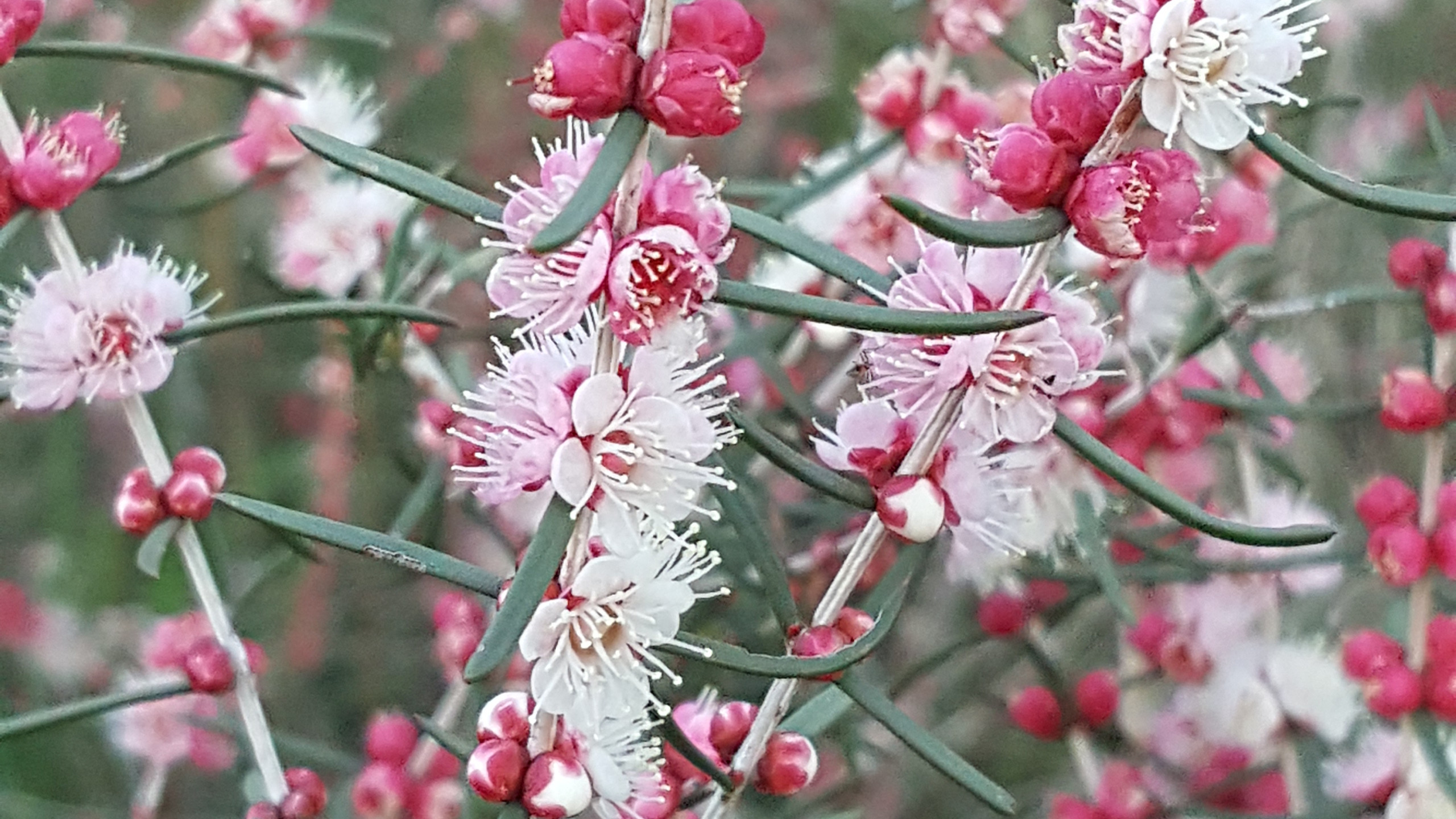 Swan River Myrtle - Flowers in Perth Hills (23)