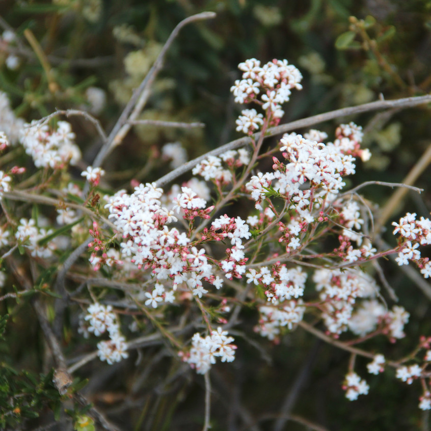 Flowers in Perth Hills (10)