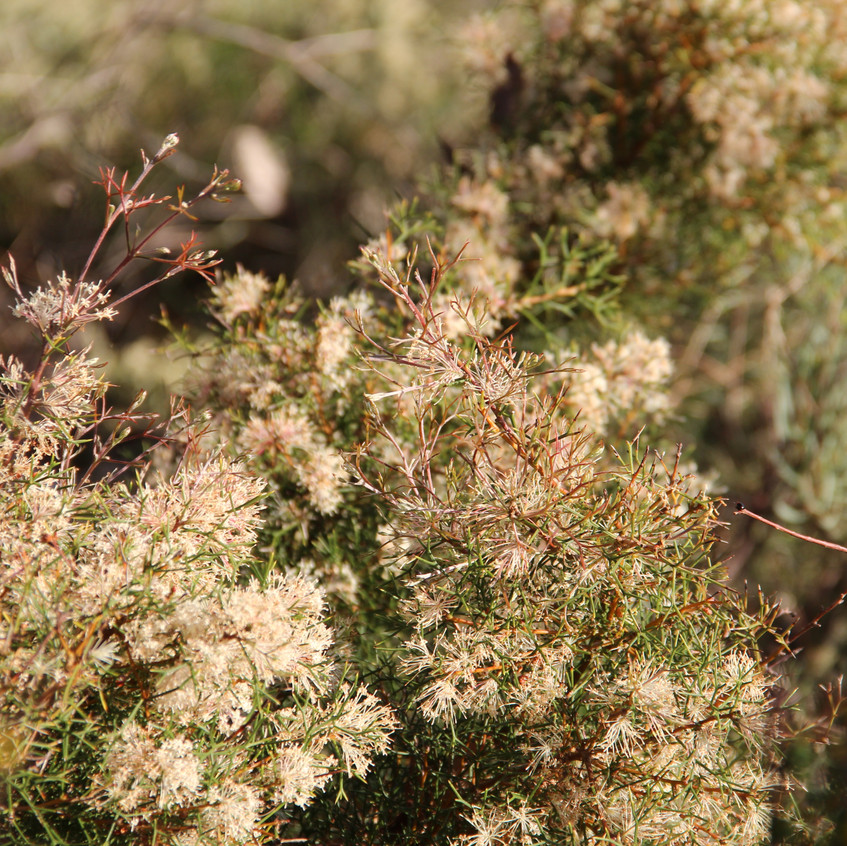 Prickly Hakea - Flowers in Perth Hills (6)