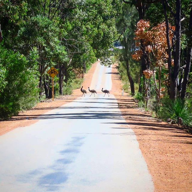 We hope you've enjoyed a fun-filled and safe Easter weekend! _Now relax your eyeballs with this cute snap of a trio of emus in the Perth Hil