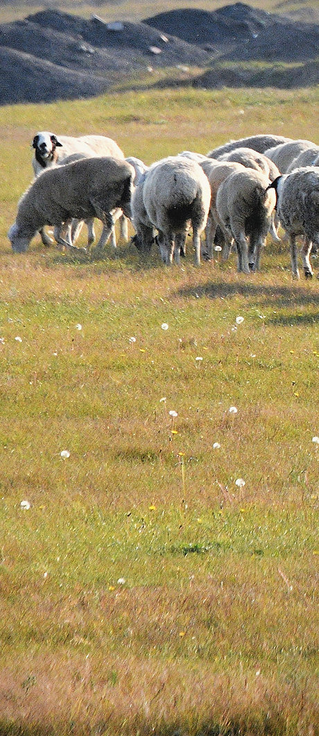 ハイラル観光 大草原 羊