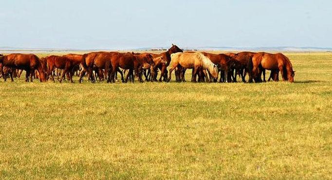 ハイラル大草原 馬 観光