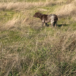 Sire - Colt Hunting Pheasant